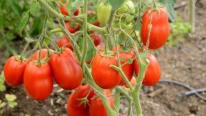 Описание сорта томатов «Столыпин»