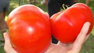 Особенности и выращивание томатов «Космонавт Волков»