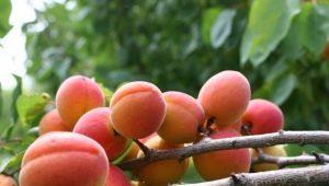 Особенности полива абрикос