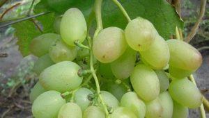 Особенности сорта винограда «Элегант»