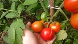 Особенности томатов сорта «Леопольд F1»