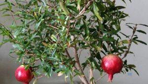 Особенности выращивания граната из косточки в домашних условиях