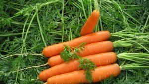 Правила подготовки семян моркови к посадке