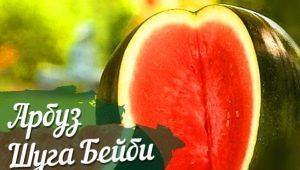 Процесс выращивания арбузов сорта «Шуга Бейби»