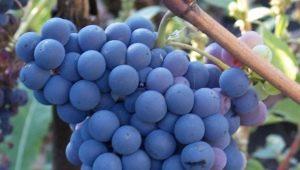 Разновидности винограда «Кишмиш» и их описание