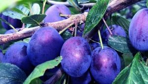 Слива «Этюд»: характеристика сорта и советы по выращиванию