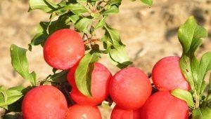 Слива «Скороплодная»: характеристика сорта, выращивание и уход