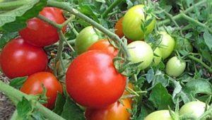 Томат «Иришка F1»: характеристика и описание сорта помидоров