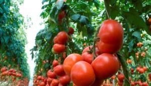Томат «Махитос F1»: характерные черты и правила выращивания