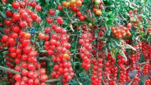 Томат «Свит Черри»: характеристика сорта и выращивание