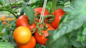 Томат «Верлиока»: описание сорта и советы по агротехнике