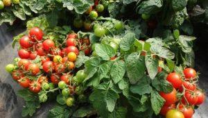 Томат «Видимо-Невидимо»: характеристика и тонкости выращивания
