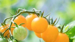 Томаты «Желтая вишня»: особенности сорта и тонкости его выращивания