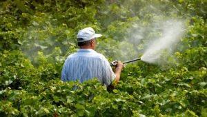 Весення обработка винограда медным и железным купоросом
