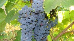 Виноград «Амурский»: разновидности, посадка и уход