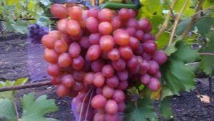 Виноград «Анюта»: описание сорта и тонкости выращивания