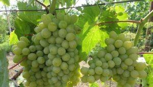 Виноград «Гарольд»: описание сорта и особенности выращивания