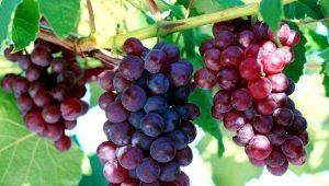 Виноград «Кардинал»: описание сорта, виды и выращивание