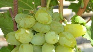 Виноград «Монарх»: характеристика и выращивание сорта