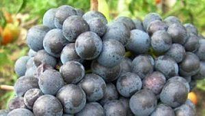 Виноград «Памяти Домбковской»: описание сорта и выращивание