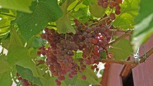 Виноград «Рилайнс Пинк Сидлис»: описание сорта и выращивание