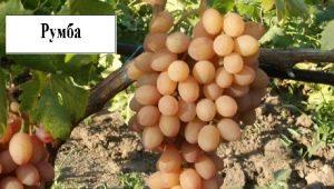 Виноград «Румба»: описание и характеристика сорта