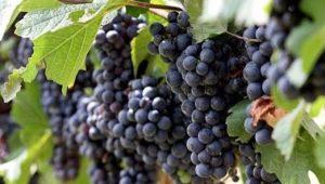 Виноград «Вэлиант»: особенности сорта и выращивание