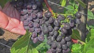 Виноград «Юпитер»: описание сорта и особенности выращивания