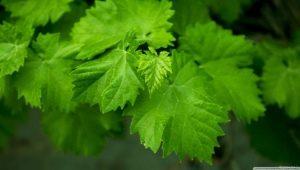 Виноградные листья: чем полезны, где используют и как заготавливают?