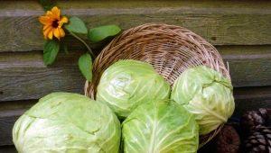 Выбираем лучшие сорта капусты для засолки и хранения