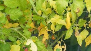 Желтеют листья у помидоров: почему это происходит и как бороться?