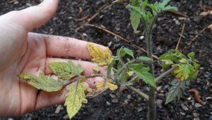 Желтеют листья у рассады томатов: причины и рекомендации по выращиванию