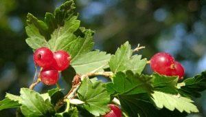Альпийская смородина: описание и правила выращивания