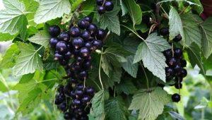 Болезни и вредители черной смородины: характеристика и борьба с ними