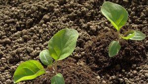 Чем подкормить баклажаны после высадки в грунт?