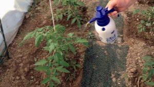 Чем подкормить помидоры после высадки в теплицу?