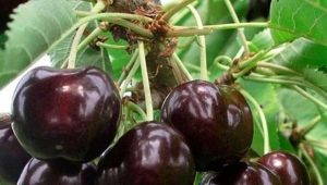 Черешня «Ипуть»: описание сорта и особенности выращивания