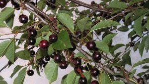 Черная черешня: разновидности сортов и их особенности