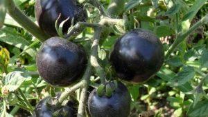 Черные помидоры: особенности и популярные сорта