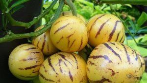 Фрукт Пепино: особенности и выращивание дынной груши