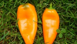 Характеристика и выращивание перца «Апельсин»