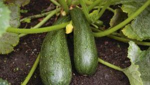 Кабачок «Скворушка»: особенности сорта и агротехника