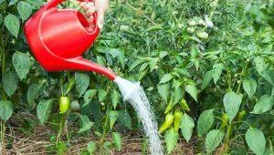 Как часто нужно поливать перец в теплице?
