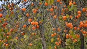 Как цветет хурма и когда появляются плоды?