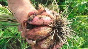 Как посадить и получить богатый урожай семейного лука?