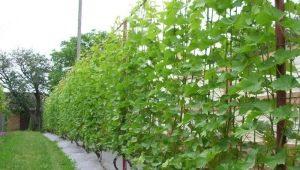Как правильно подвязывать виноград?