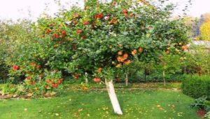 Как правильно посадить и вырастить яблоню?