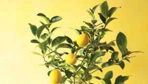 Как правильно привить лимон?