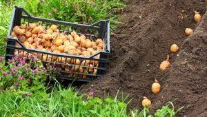 Как правильно сажать и выращивать картофель?