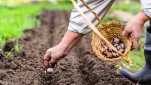 Как лучше посадить чеснок весной в Сибири и на Урале?